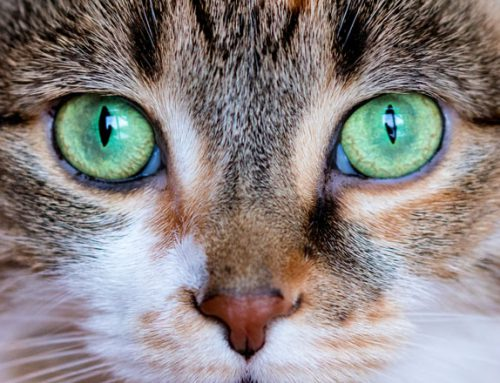 The Five Senses According to Cats: Vision